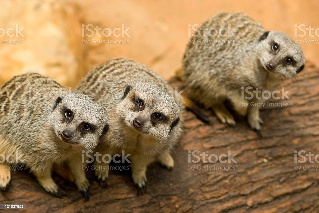 Meerkats looking to the camera stock photo