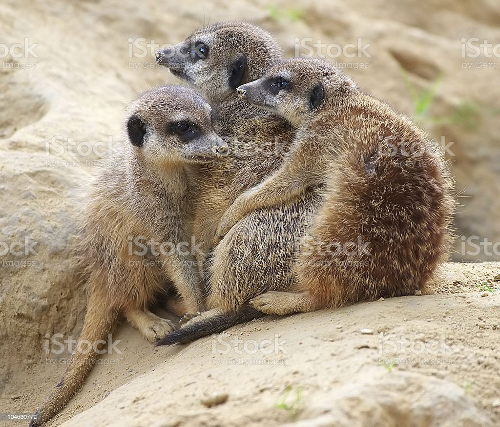 meerkats on a cold day stock photo