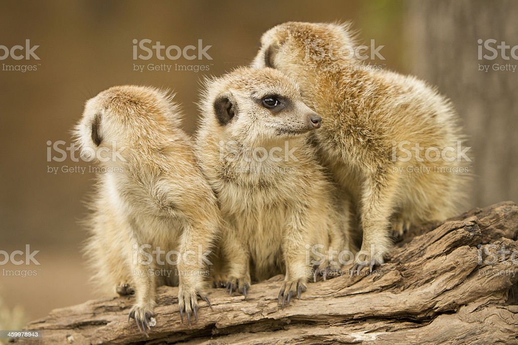 Meerkats royalty-free stock photo