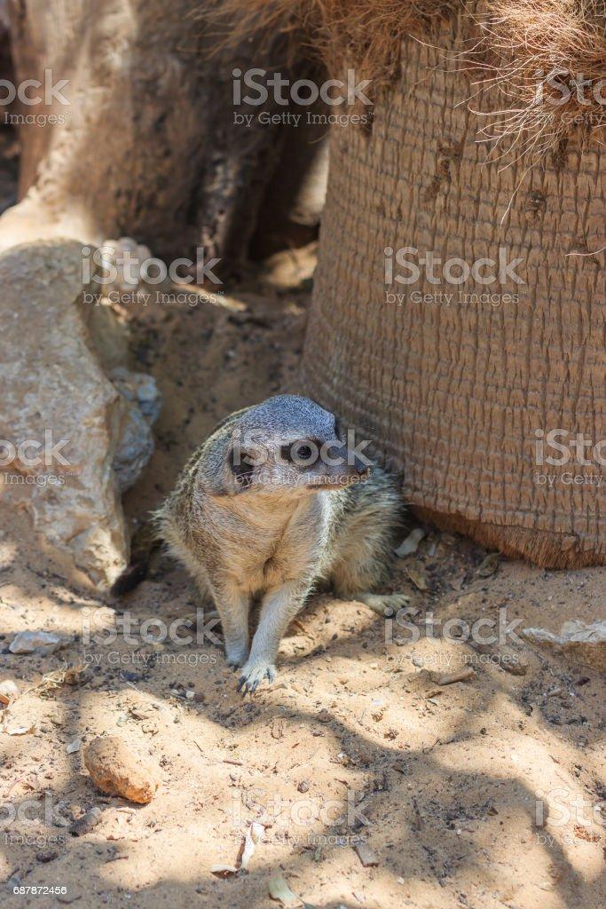 Meerkats sitting afternoon on the sand under the sun stock photo