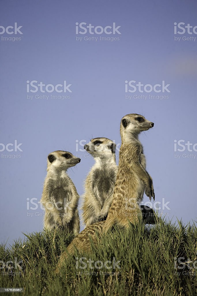 3 meerkats standing sentry with one lower on grassy hillock stock photo