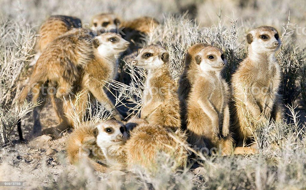 Meerkats Sunbathing royalty-free stock photo