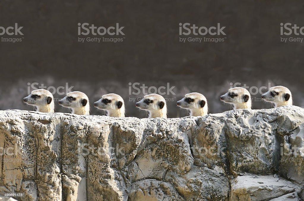 meerket stock photo