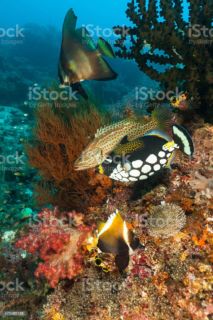 Meeting of Four Beautiful Fish Species, Raja Ampat, Indonesia stock photo