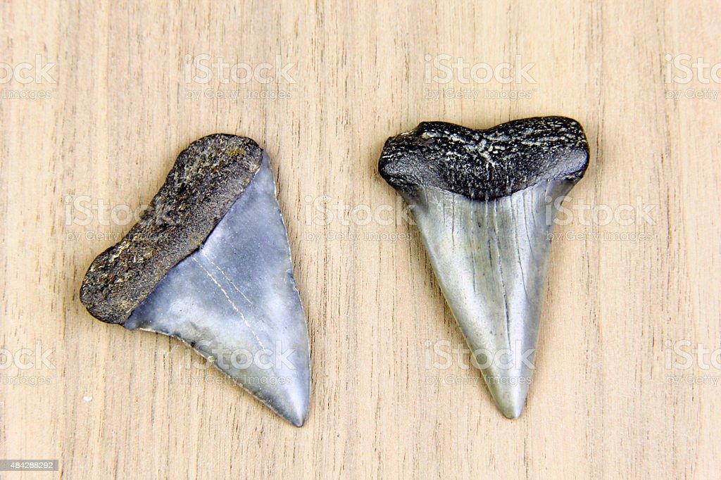 Megalodon Sharks Teeth Fossil stock photo