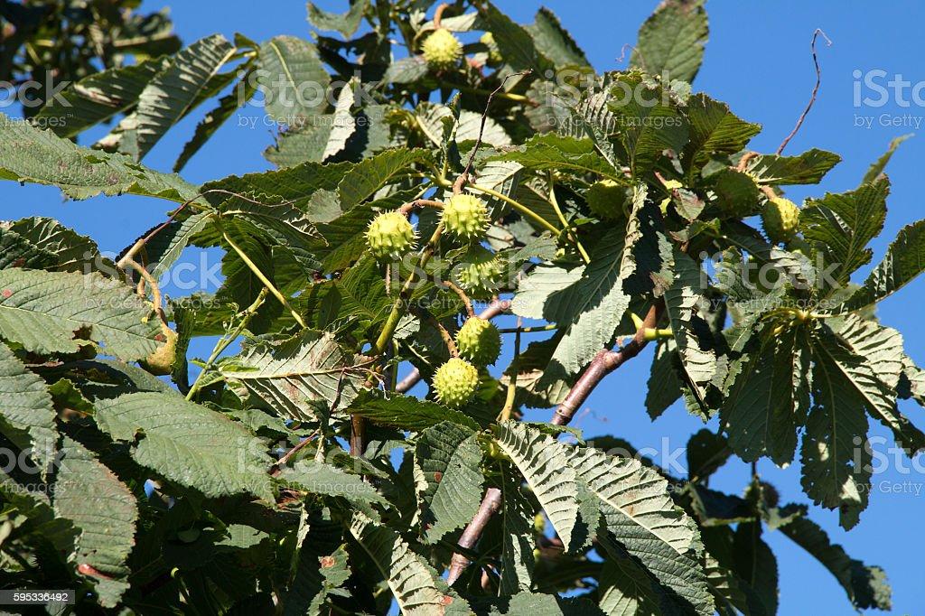 Mehrere grüne Kastanien - Several green chestnuts stock photo