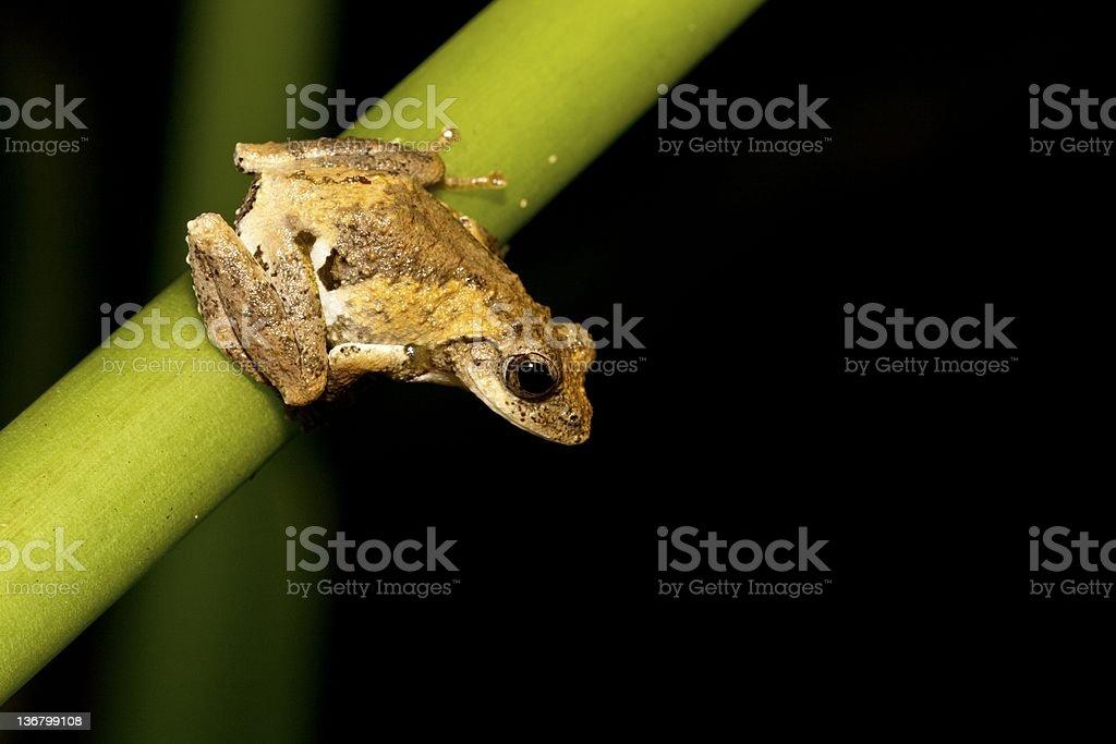 Meintein tree frog royalty-free stock photo