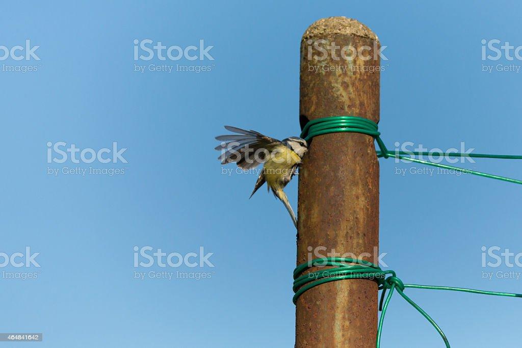 Meise vor Nest stock photo