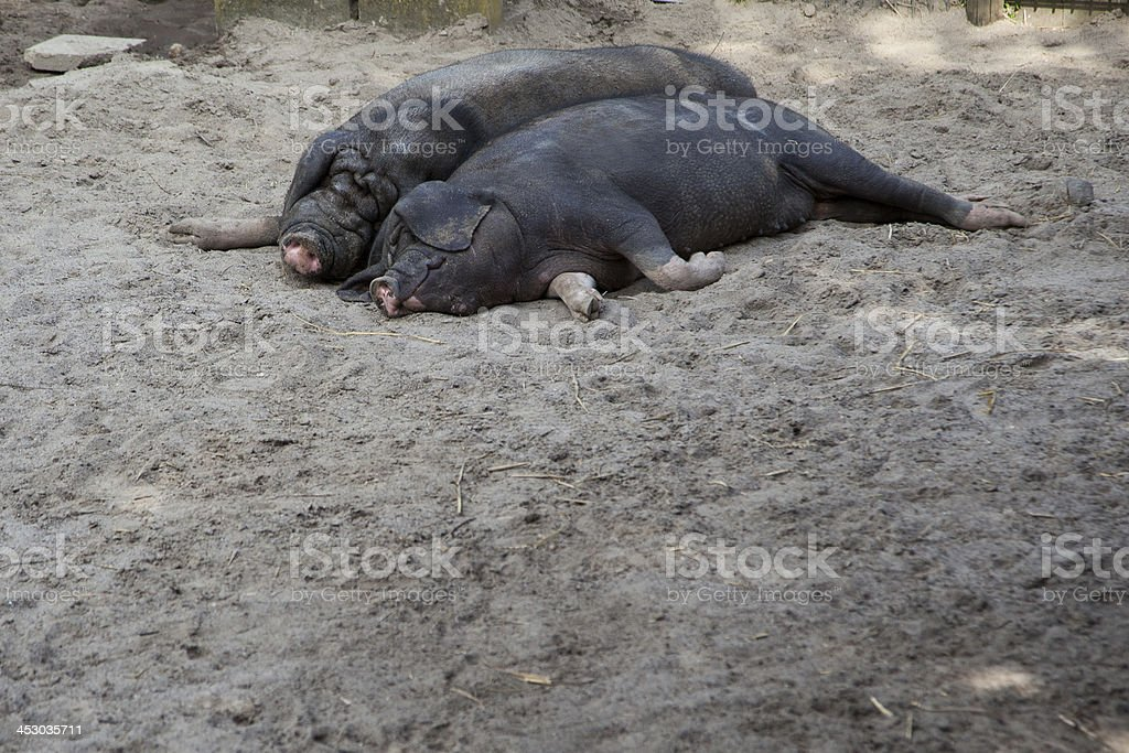Meishan Pigs taking a nap royalty-free stock photo