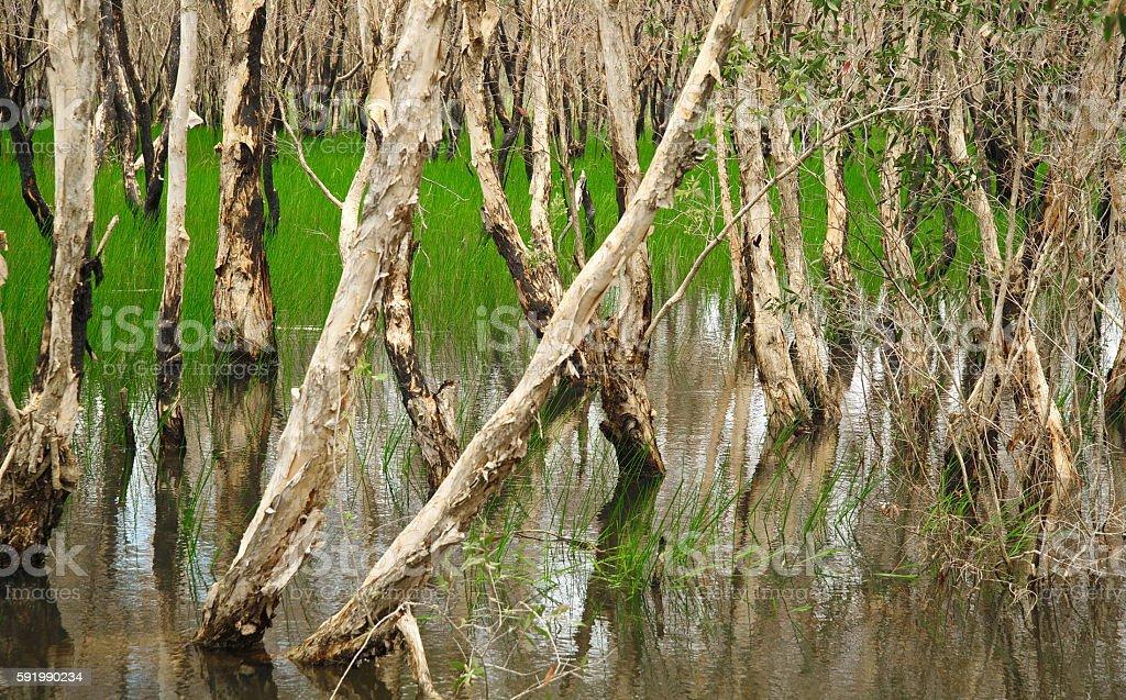 Melaleuca Cajuputi swap forest wetland stock photo