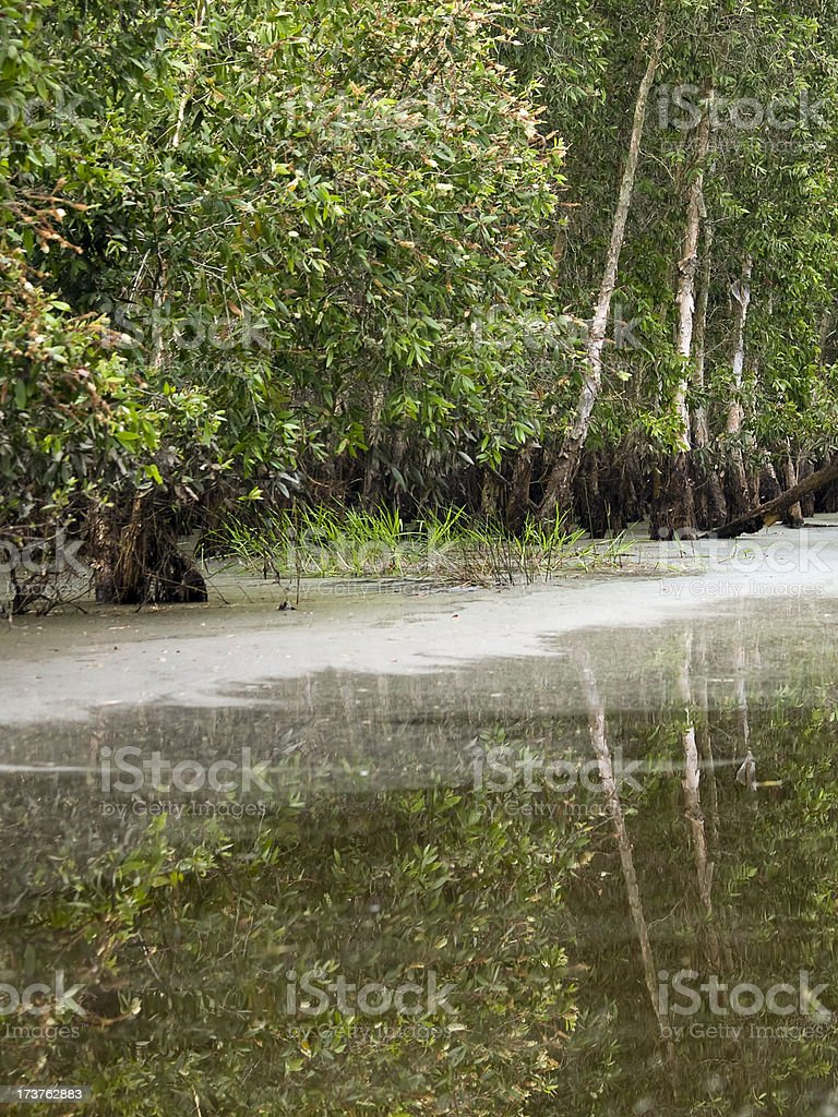 Melaleuca swamp royalty-free stock photo
