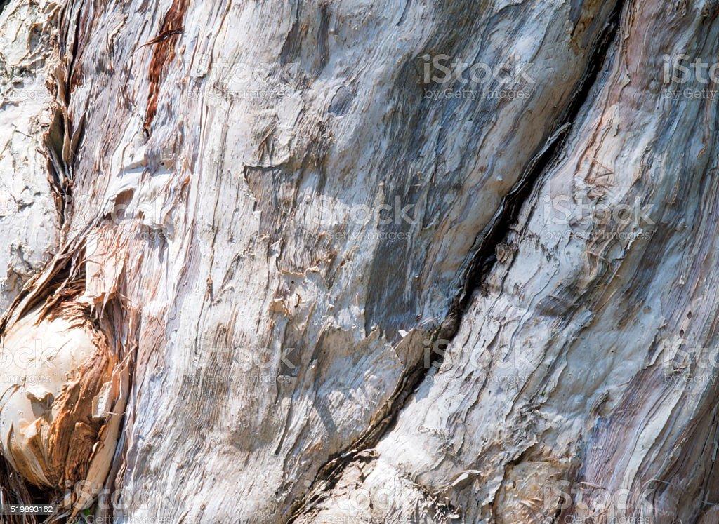 Melaleuca's bark stock photo