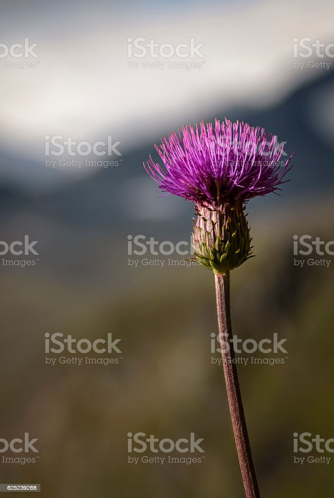 Melancholy Thistle with long leave less stem with mountain background stock photo