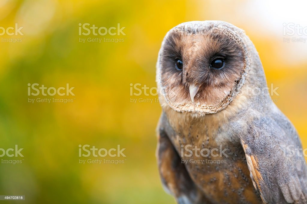 Melanistic or Black Barn Owl stock photo