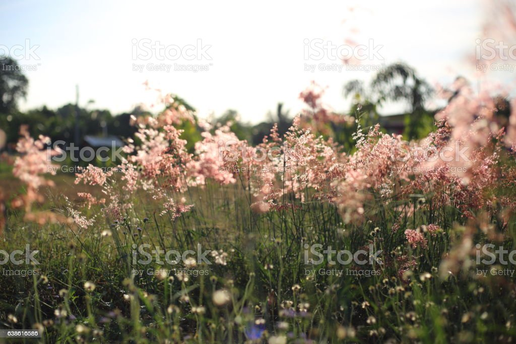 Melinis repens flower stock photo
