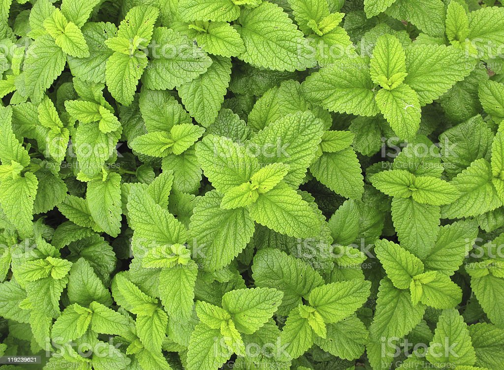 Melissa officinalis leaves isolated on white background royalty-free stock photo