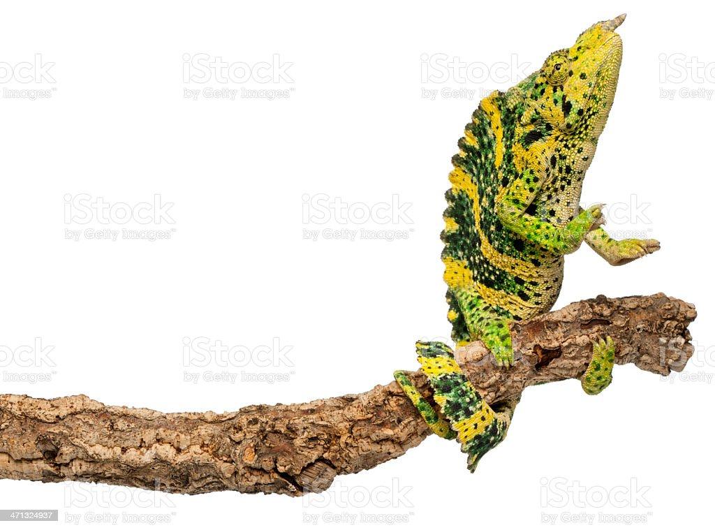 Meller's Chameleon, Chamaeleo melleri, reaching up from branch, white background. royalty-free stock photo