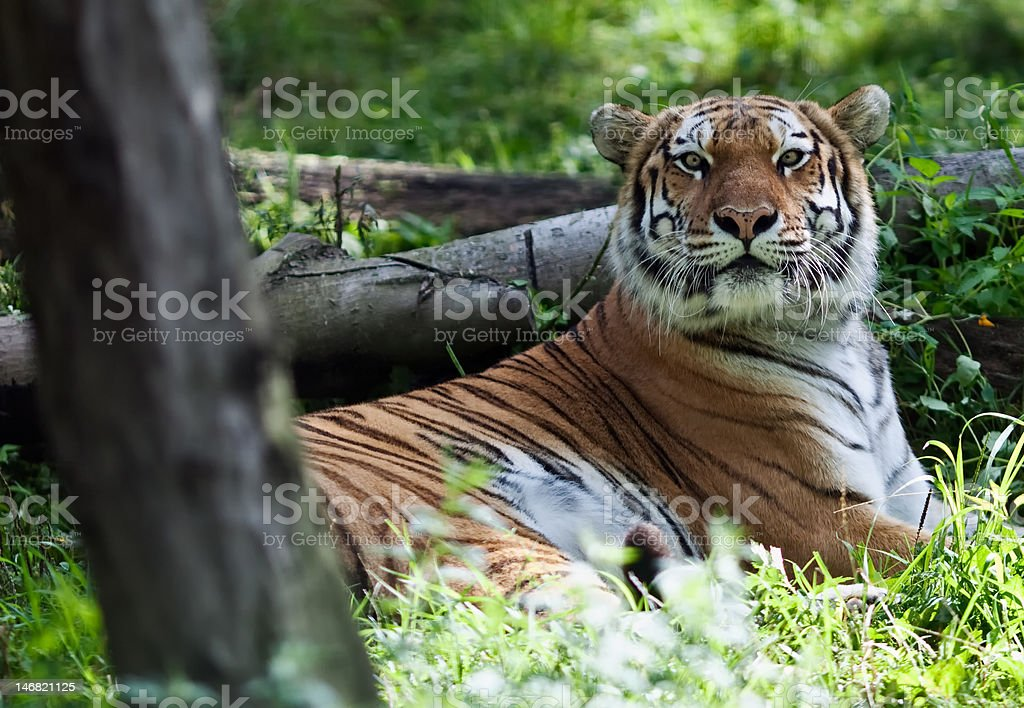 Mellow Tiger royalty-free stock photo