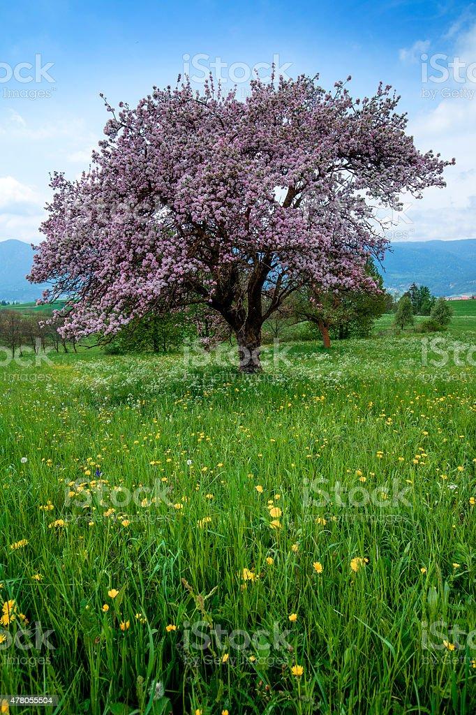 Melo un fiore stock photo