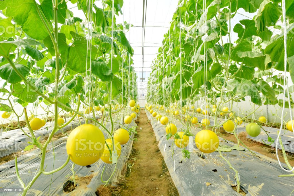 Melon growing in greenhouse farm stock photo