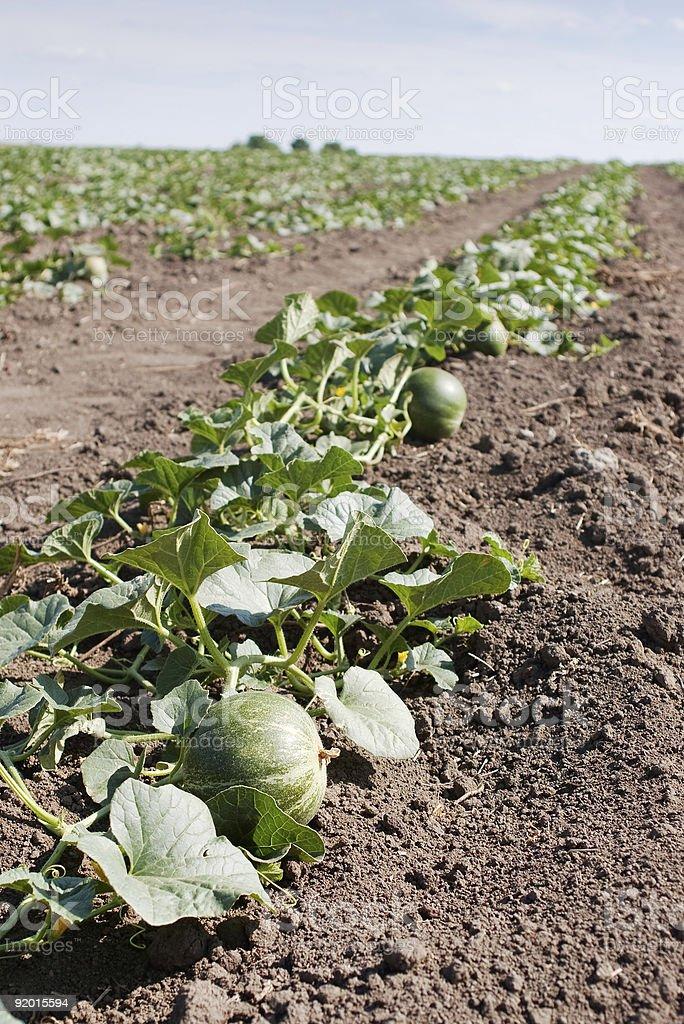 melon growing stock photo