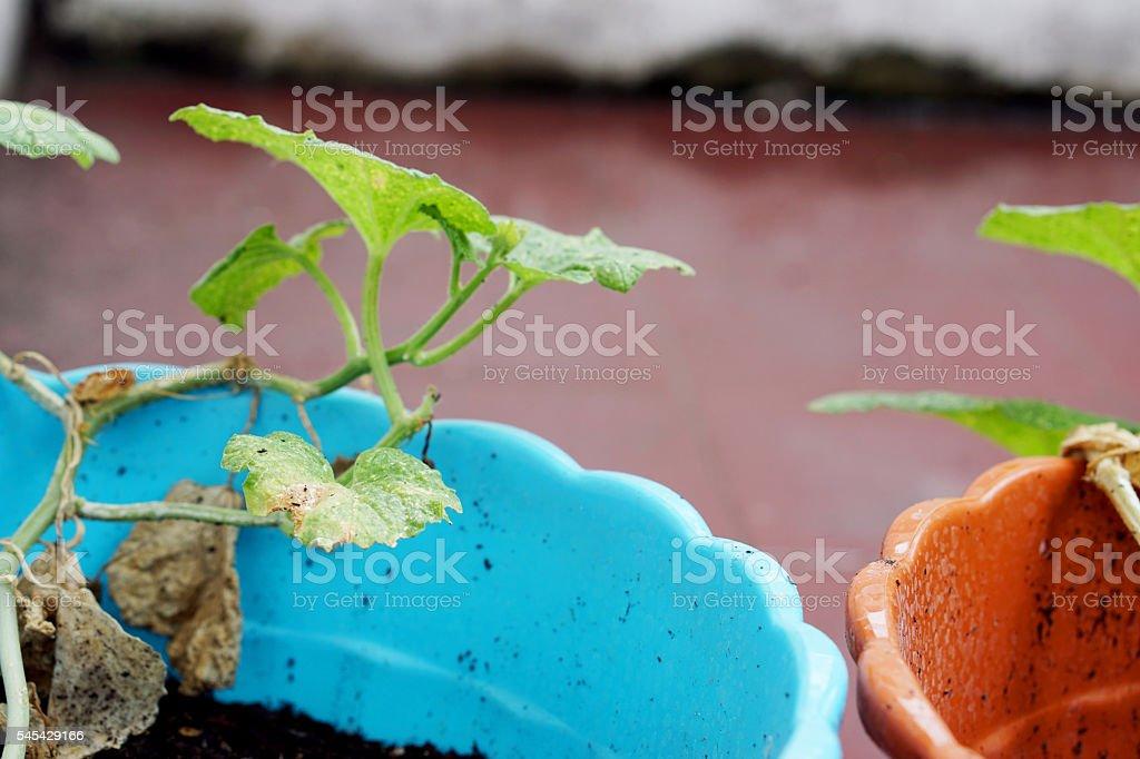 Melon plant in plasticl pot stock photo