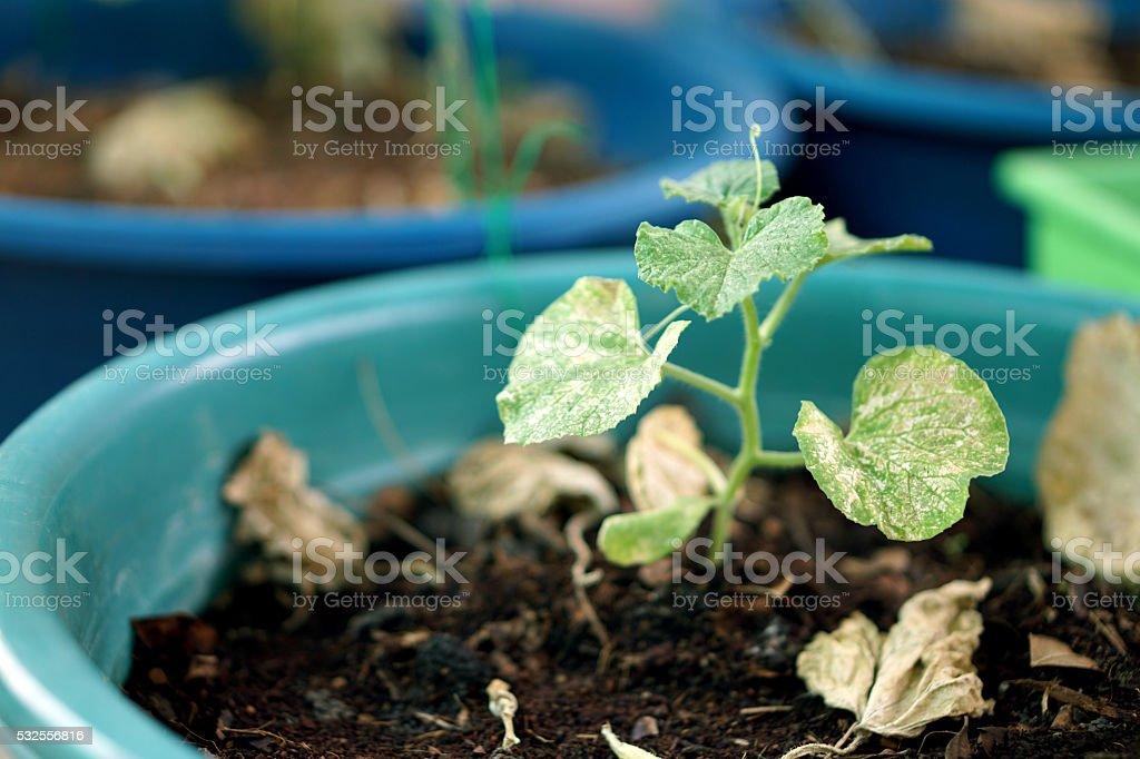 Melon plant in the pot stock photo