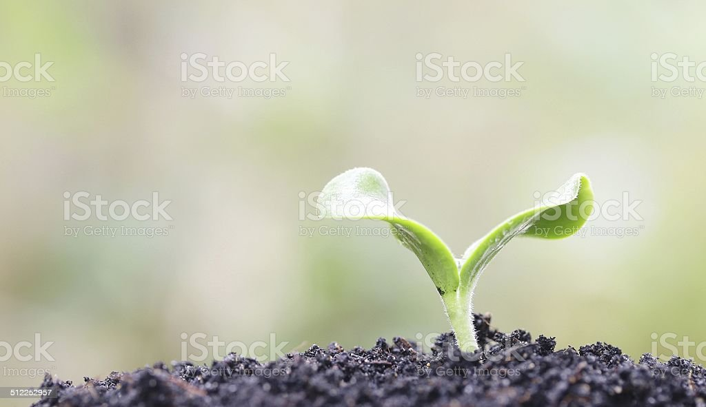 Melon planting stock photo