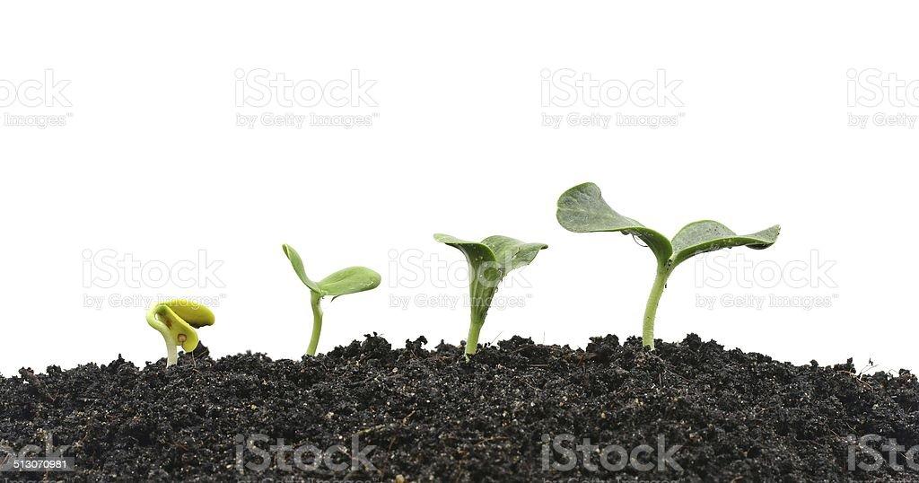 Melon planting stock photo