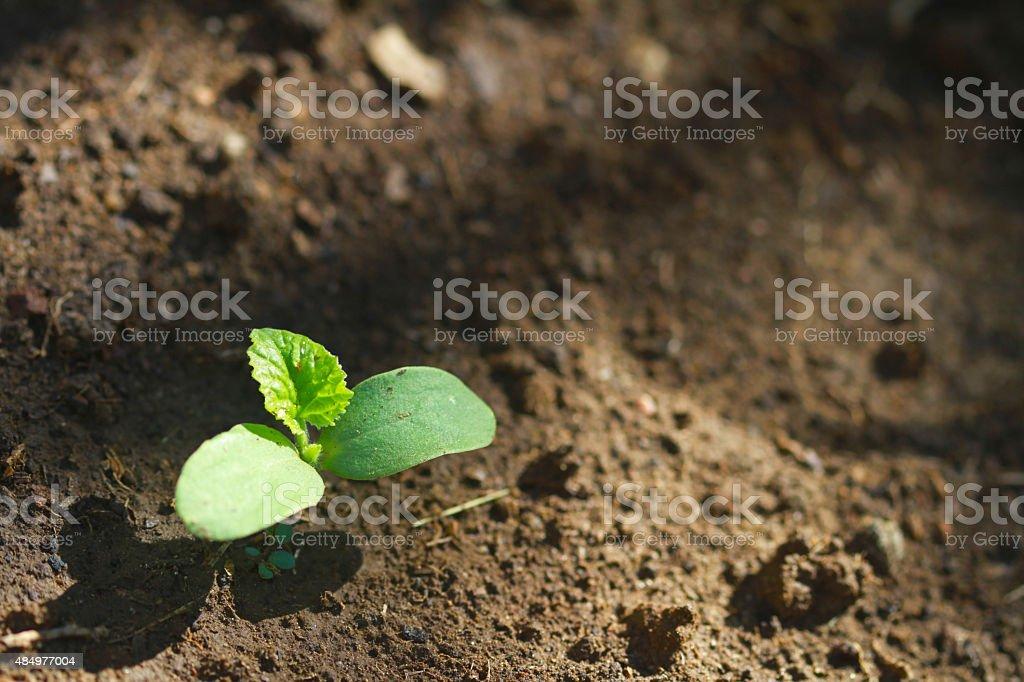 Melon seedlings emerge stock photo
