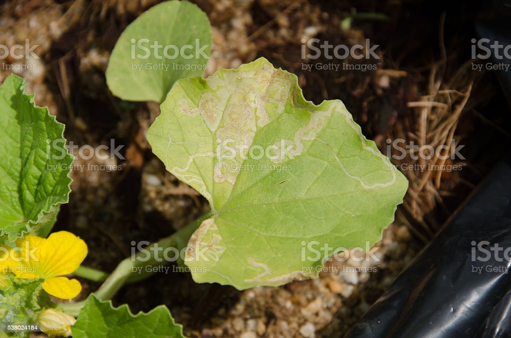 melon seedlings was the plant disease stock photo