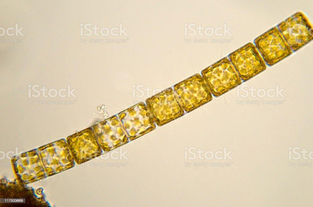 Melosira diatom micrograph royalty-free stock photo