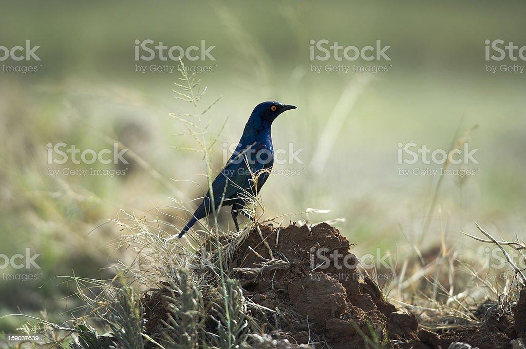 Melro Metálico / Metallic Blackbird royalty-free stock photo