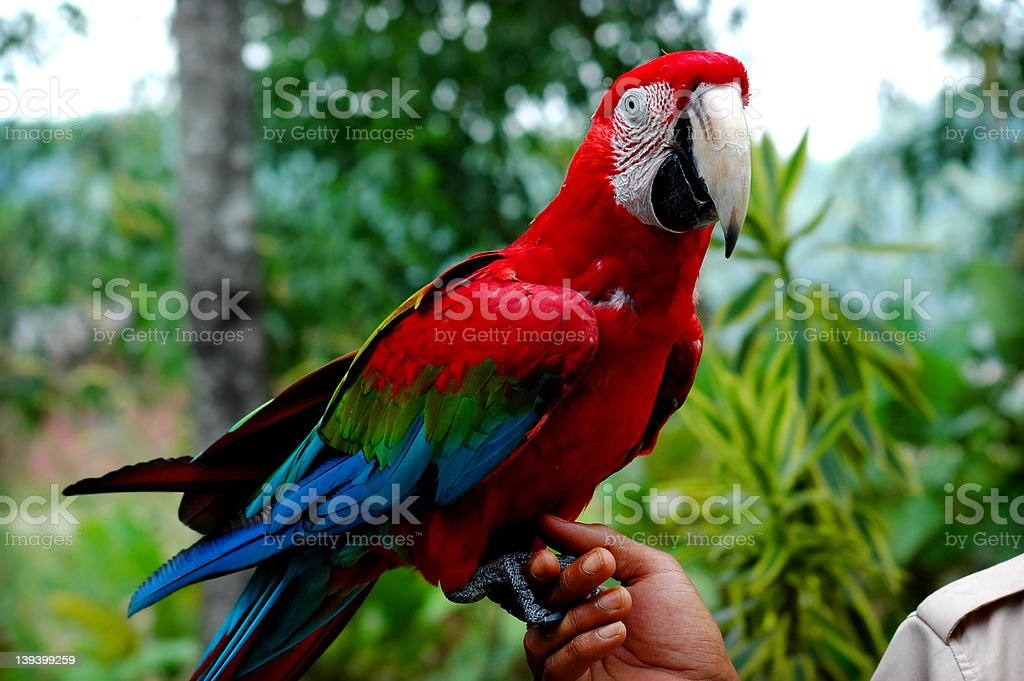 Men holding parrot royalty-free stock photo