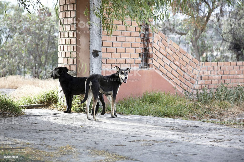Menacing looking guard dogs royalty-free stock photo