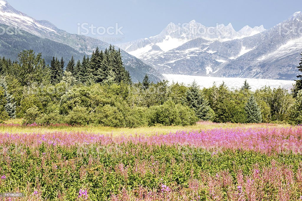 Mendel Glacier with fireweed in Juneau Alaska royalty-free stock photo