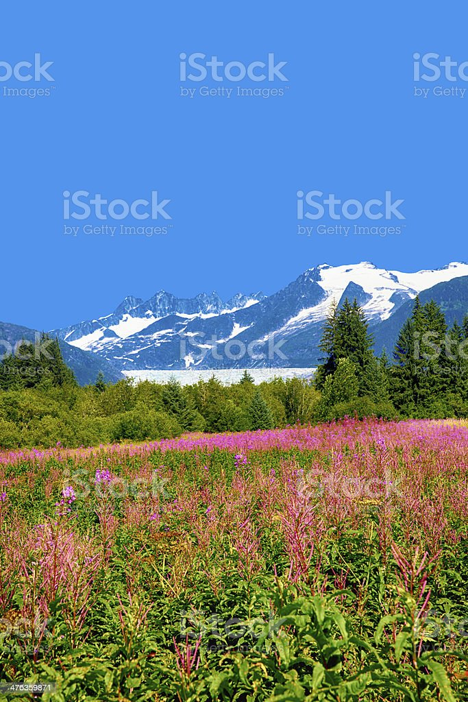 Mendel Glacier with fireweed royalty-free stock photo