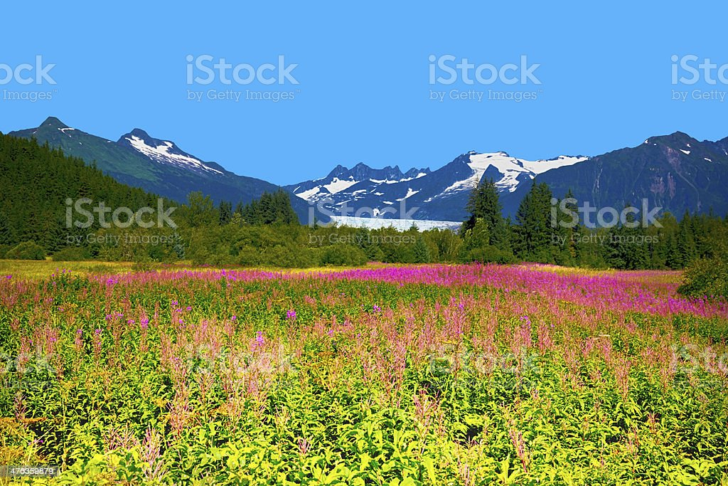 Mendel Glacier with fireweed stock photo