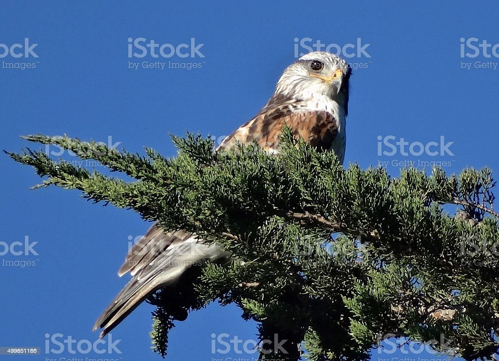 Mendocino Ferruginous Hawk stock photo