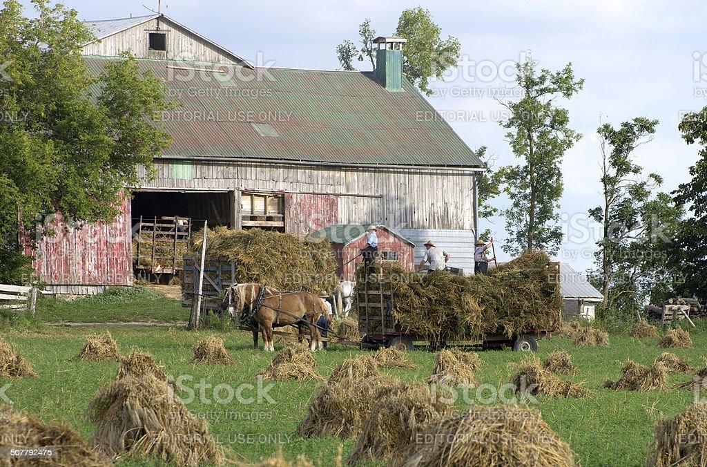 Mennonite Wheat Harvesting stock photo