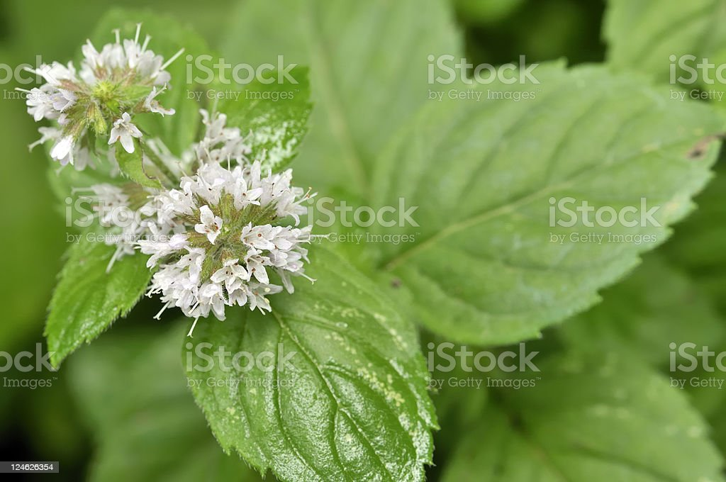 mentha flowers royalty-free stock photo