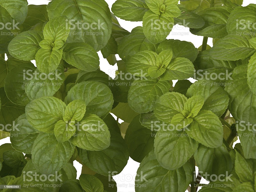 Mentha plant royalty-free stock photo