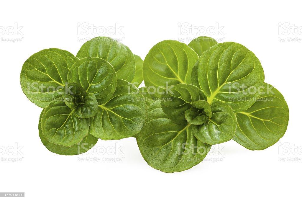 Mentha rotundifolia stock photo