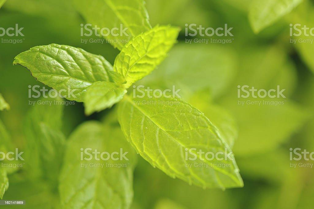 Mentha spicata stock photo