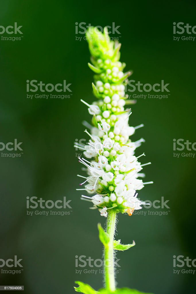 Mentha suaveolens, Apple mint, Lamiaceae, LABIATAE, mint, Europe stock photo