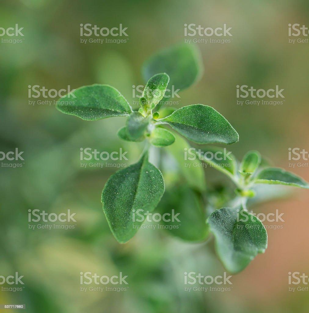 Mentho Plant (close-up shot) stock photo
