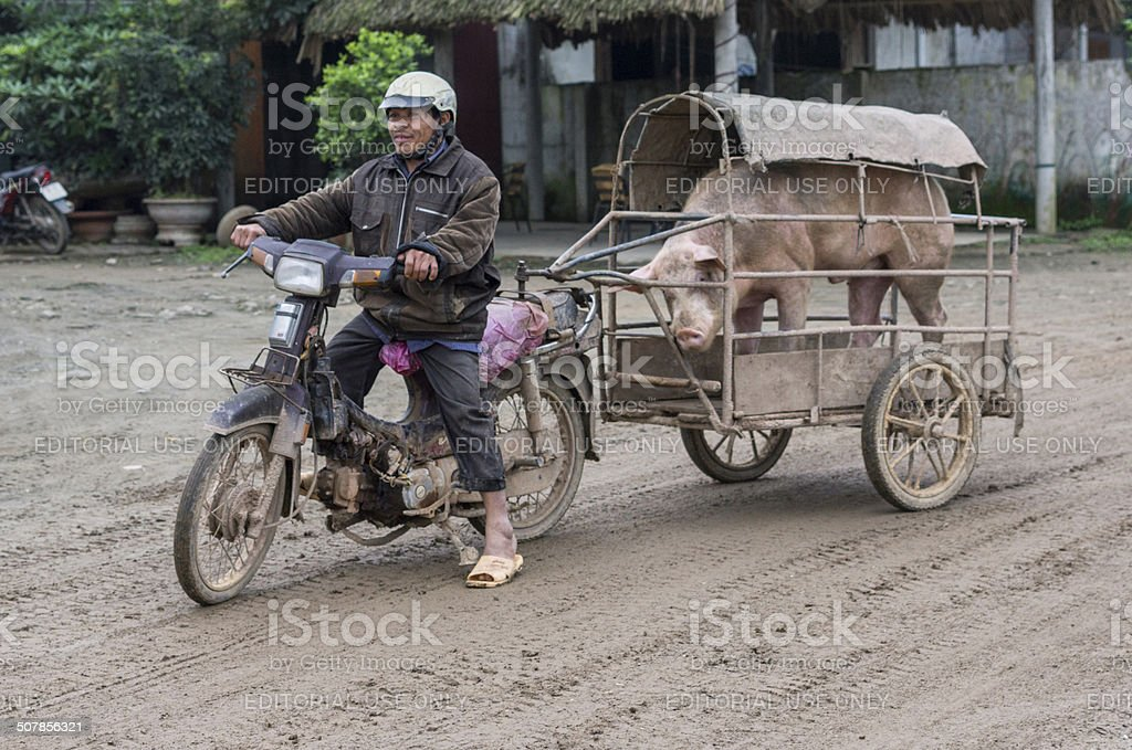 Merchant on motorcycle brings his boar to the sow. stock photo