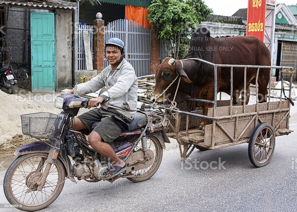 Merchant on motorcycle brings his bull to the cow. stock photo