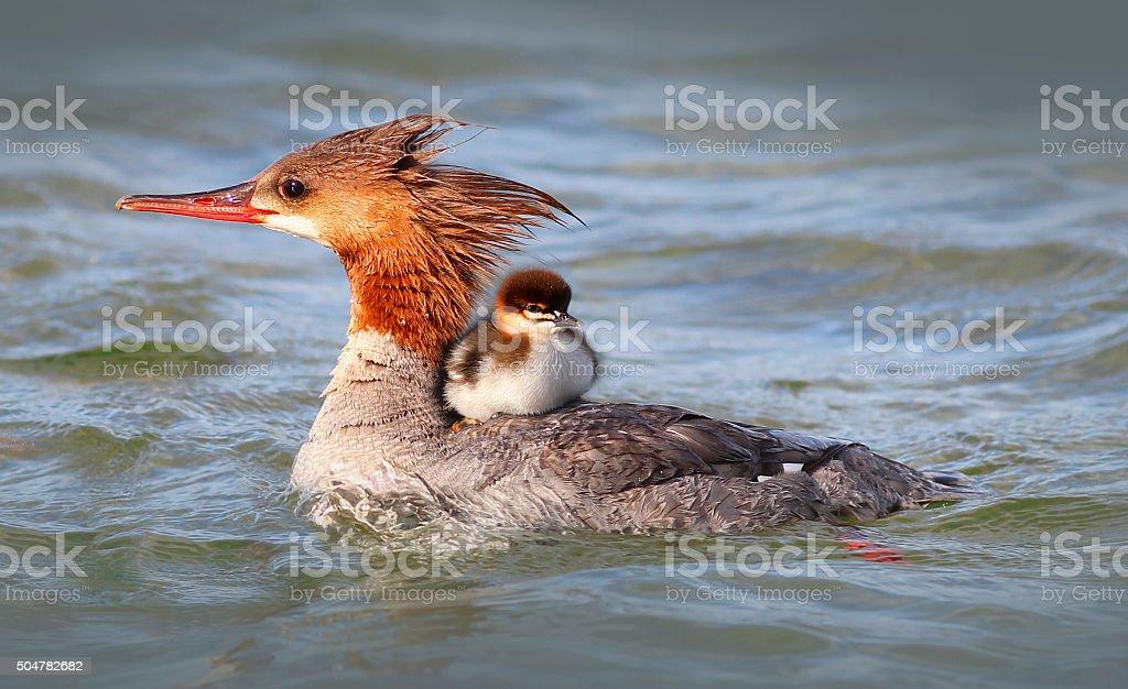 Merganser Duck with baby duckling stock photo
