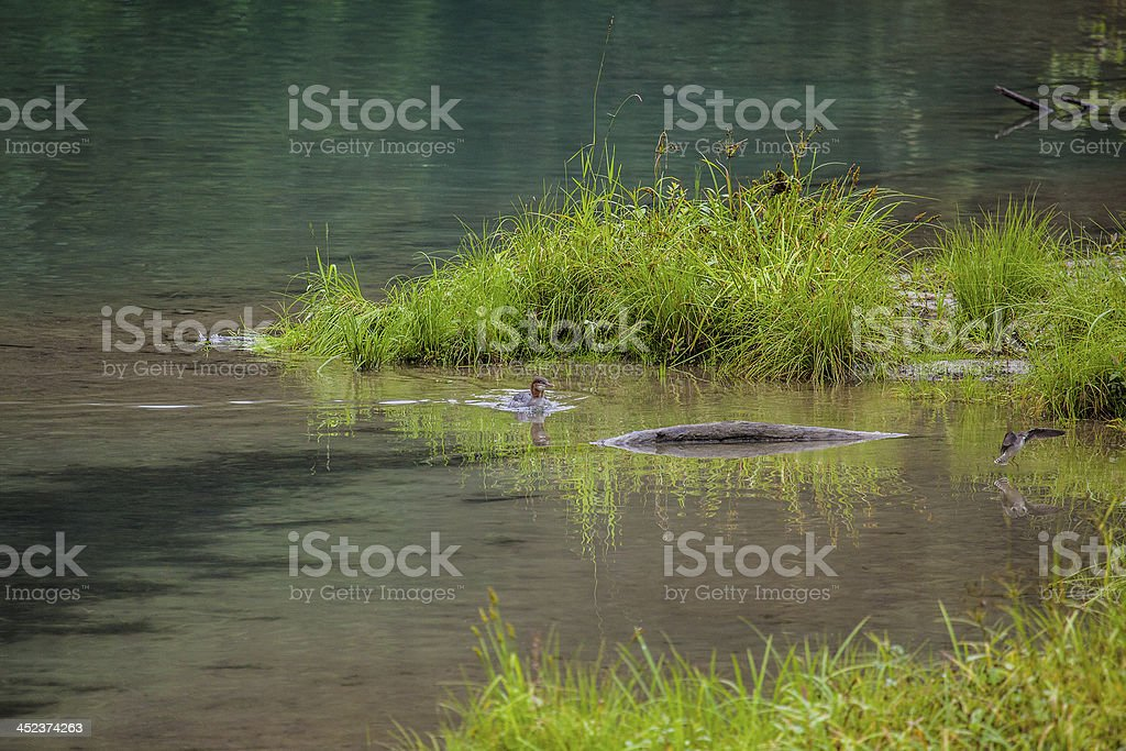 Merganser swimming in lagoon stock photo